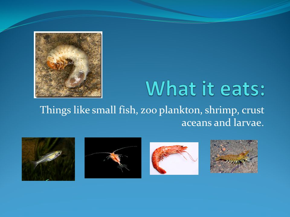 Things like small fish, zoo plankton, shrimp, crust aceans and larvae.