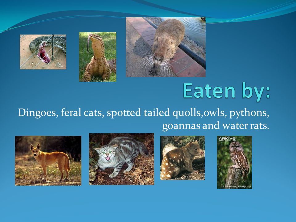 Dingoes, feral cats, spotted tailed quolls,owls, pythons, goannas and water rats.