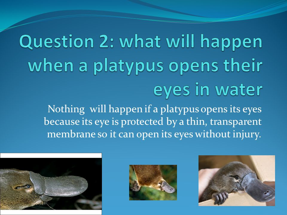 Nothing will happen if a platypus opens its eyes because its eye is protected by a thin, transparent membrane so it can open its eyes without injury.