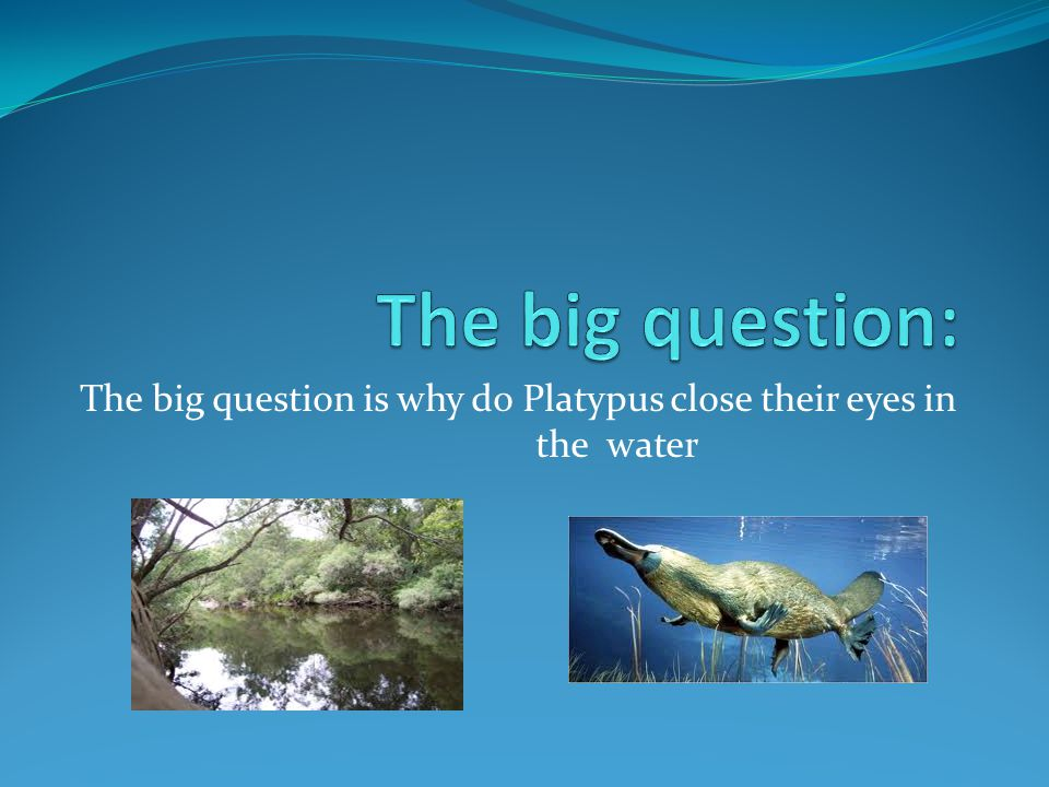 The big question is why do Platypus close their eyes in the water