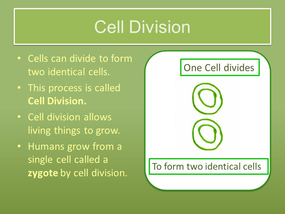 Cell Division Cells can divide to form two identical cells.