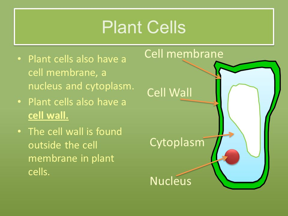 Plant Cells Plant cells also have a cell membrane, a nucleus and cytoplasm.