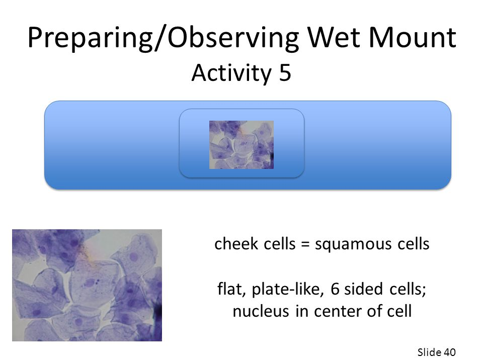 Preparing/Observing Wet Mount Activity 5 Slide 40 cheek cells = squamous cells flat, plate-like, 6 sided cells; nucleus in center of cell