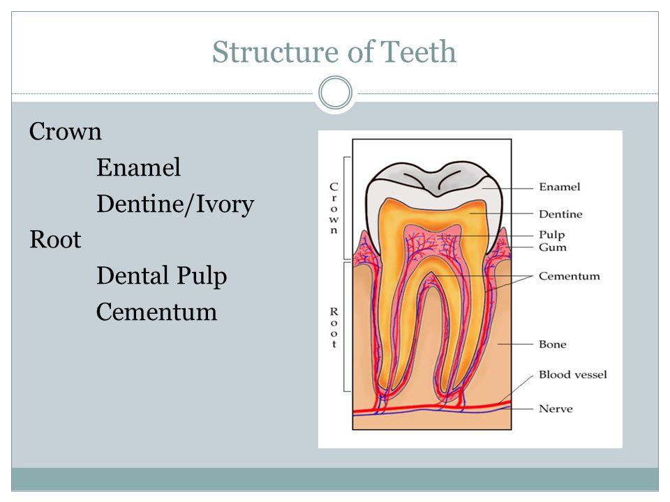 Structure of Teeth Crown Enamel Dentine/Ivory Root Dental Pulp Cementum
