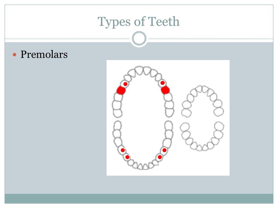 Types of Teeth Premolars