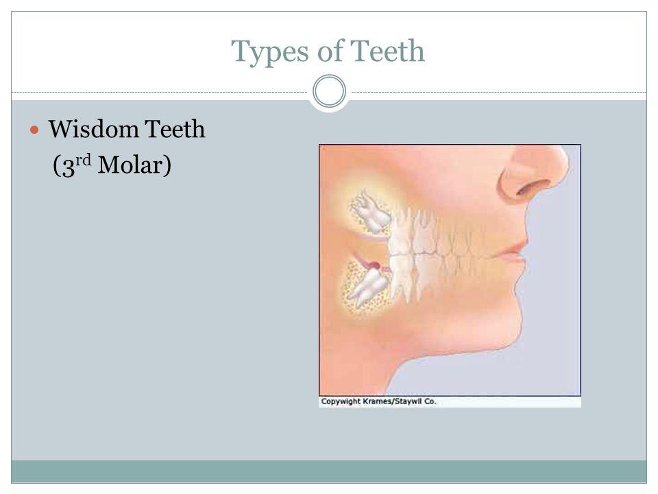Types of Teeth Wisdom Teeth (3 rd Molar)