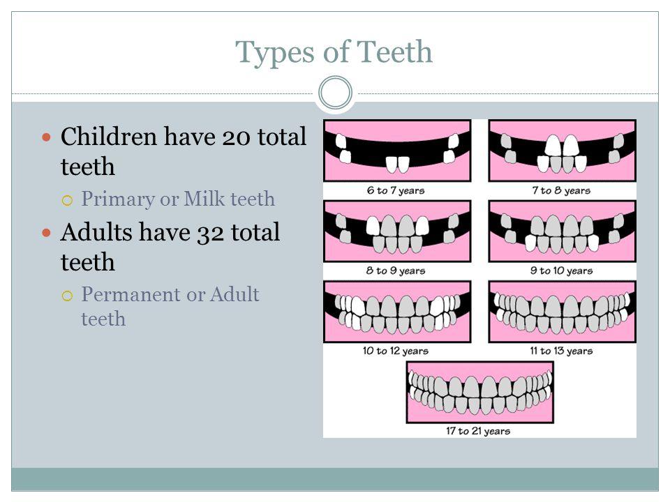 Types of Teeth Children have 20 total teeth  Primary or Milk teeth Adults have 32 total teeth  Permanent or Adult teeth