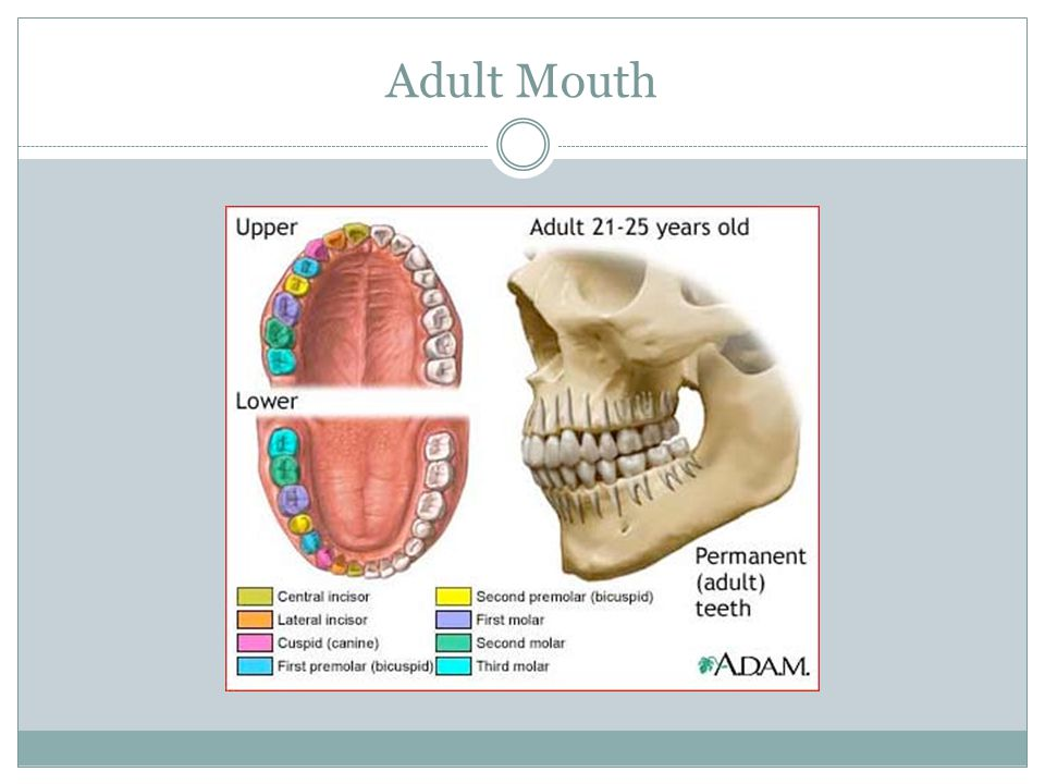 Adult Mouth