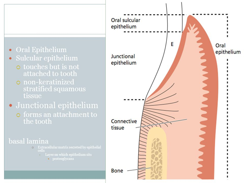 Oral Epithelium Sulcular epithelium  touches but is not attached to tooth  non-keratinized stratified squamous tissue Junctional epithelium  forms