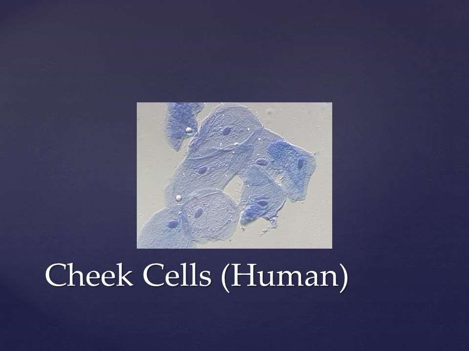 Cheek Cells (Human)