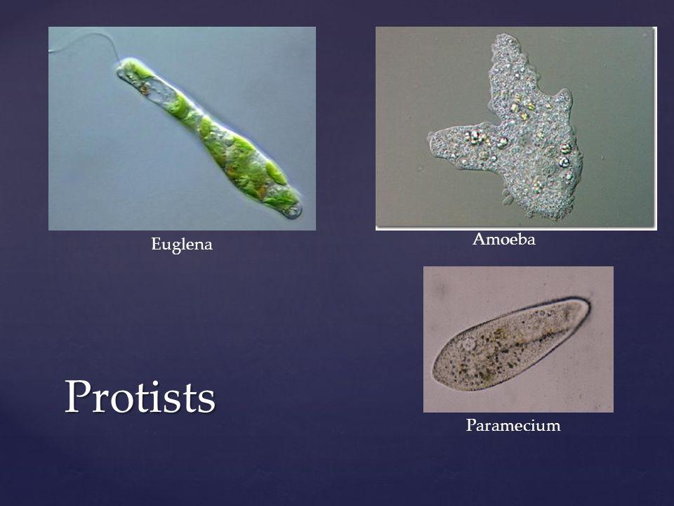 Protists Euglena Paramecium Amoeba