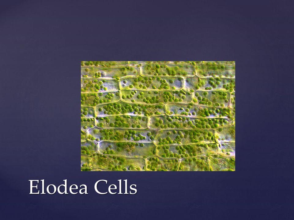 Elodea Cells