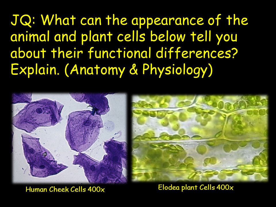 Elodea – Magnified at 1000x Class Review –Post Lab Questions