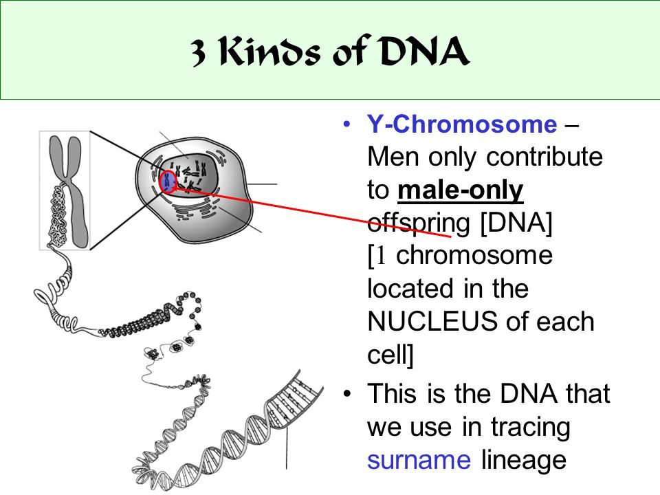 3 Kinds of DNA Y-Chromosome – Men only contribute to male-only offspring [DNA] [ 1 chromosome located in the NUCLEUS of each cell] This is the DNA that we use in tracing surname lineage