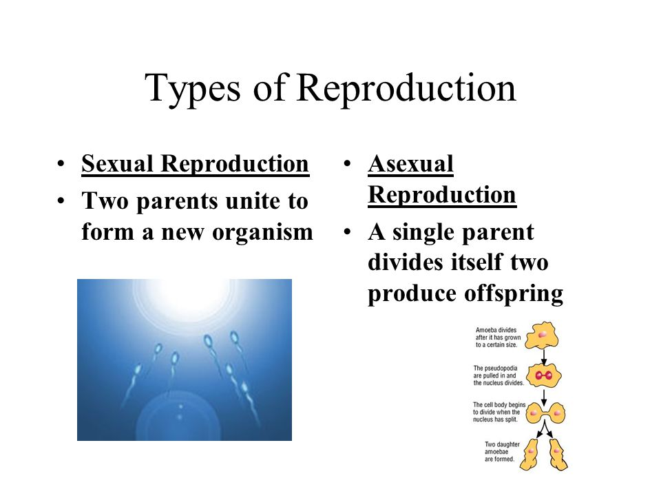 Types of Reproduction Sexual Reproduction Two parents unite to form a new organism Asexual Reproduction A single parent divides itself two produce offspring