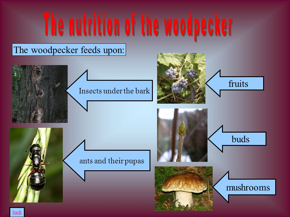 The woodpecker feeds upon: Insects under the bark ants and their pupas buds mushrooms back fruits