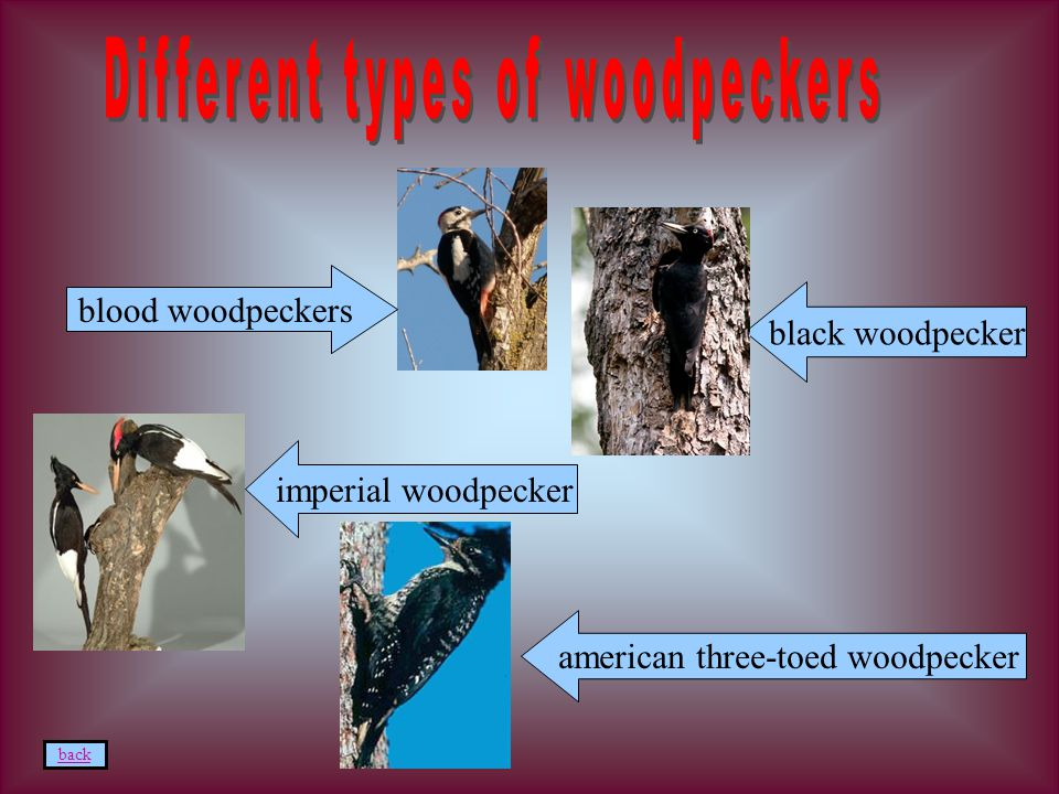 imperial woodpecker american three-toed woodpecker back black woodpecker blood woodpeckers