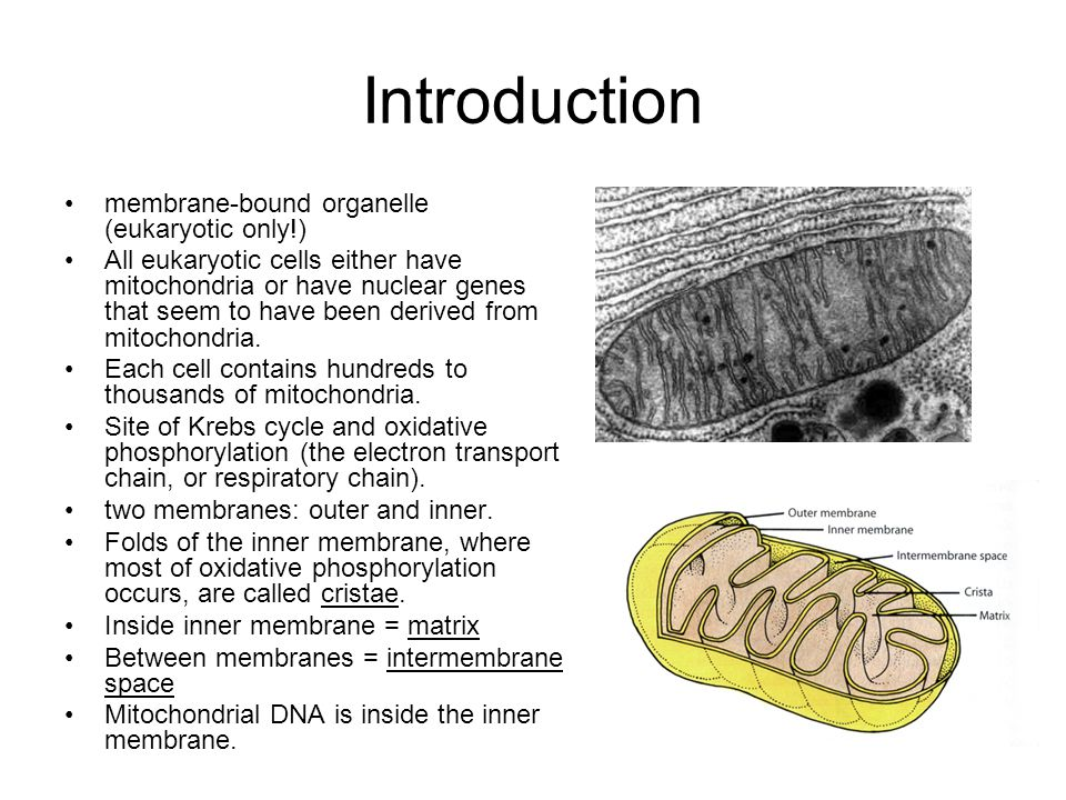 Introduction membrane-bound organelle (eukaryotic only!) All eukaryotic cells either have mitochondria or have nuclear genes that seem to have been de