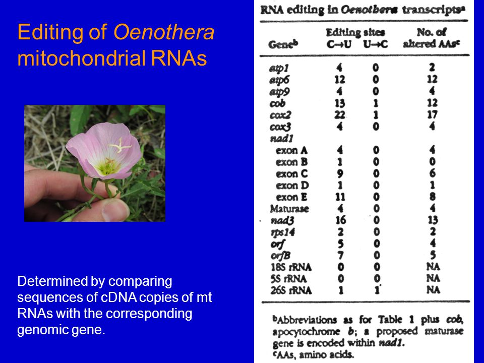 Determined by comparing sequences of cDNA copies of mt RNAs with the corresponding genomic gene.