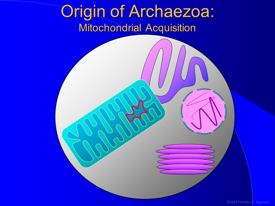 ©2001 Timothy G. Standish Origin of Archaezoa: Mitochondrial Acquisition