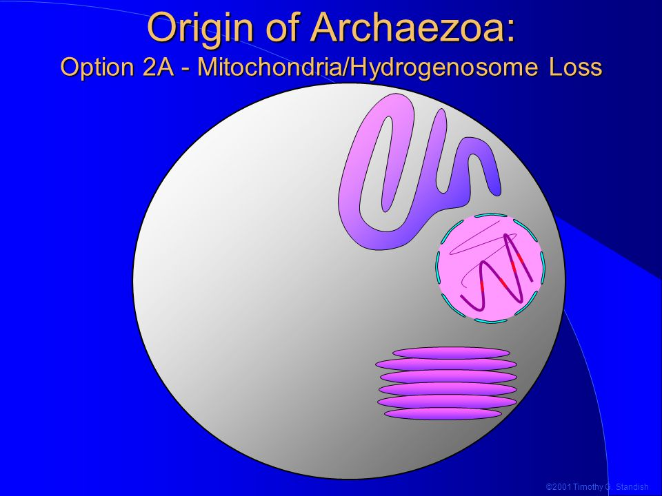©2001 Timothy G. Standish Origin of Archaezoa: Option 2A - Mitochondria/Hydrogenosome Loss