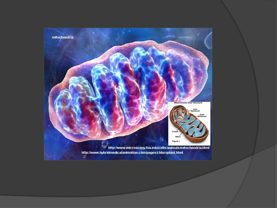 Mitochondria The organelle that releases energy in the cell.