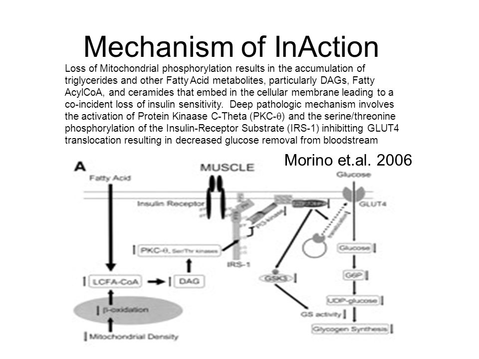 Mechanism of InAction Loss of Mitochondrial phosphorylation results in the accumulation of triglycerides and other Fatty Acid metabolites, particularly DAGs, Fatty AcylCoA, and ceramides that embed in the cellular membrane leading to a co-incident loss of insulin sensitivity.