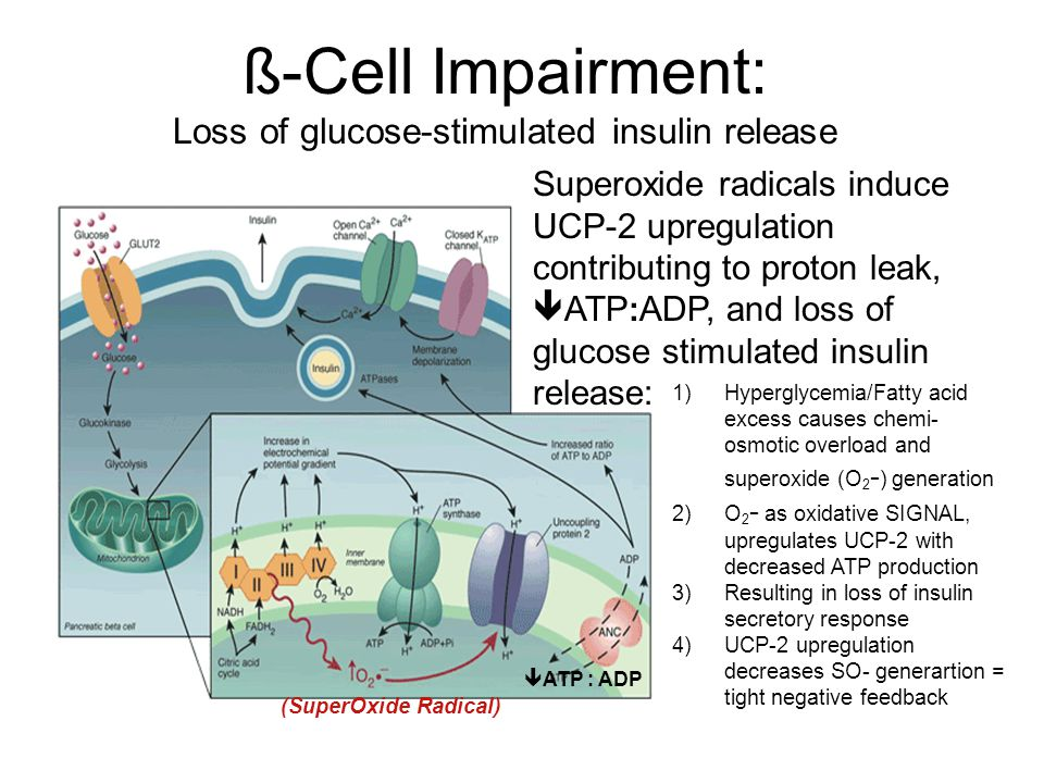 ß-Cell Impairment: Loss of glucose-stimulated insulin release Superoxide radicals induce UCP-2 upregulation contributing to proton leak,  ATP : ADP, and loss of glucose stimulated insulin release: 1)Hyperglycemia/Fatty acid excess causes chemi- osmotic overload and superoxide (O 2 - ) generation 2)O 2 - as oxidative SIGNAL, upregulates UCP-2 with decreased ATP production 3)Resulting in loss of insulin secretory response 4)UCP-2 upregulation decreases SO- generartion = tight negative feedback (SuperOxide Radical)  ATP : ADP