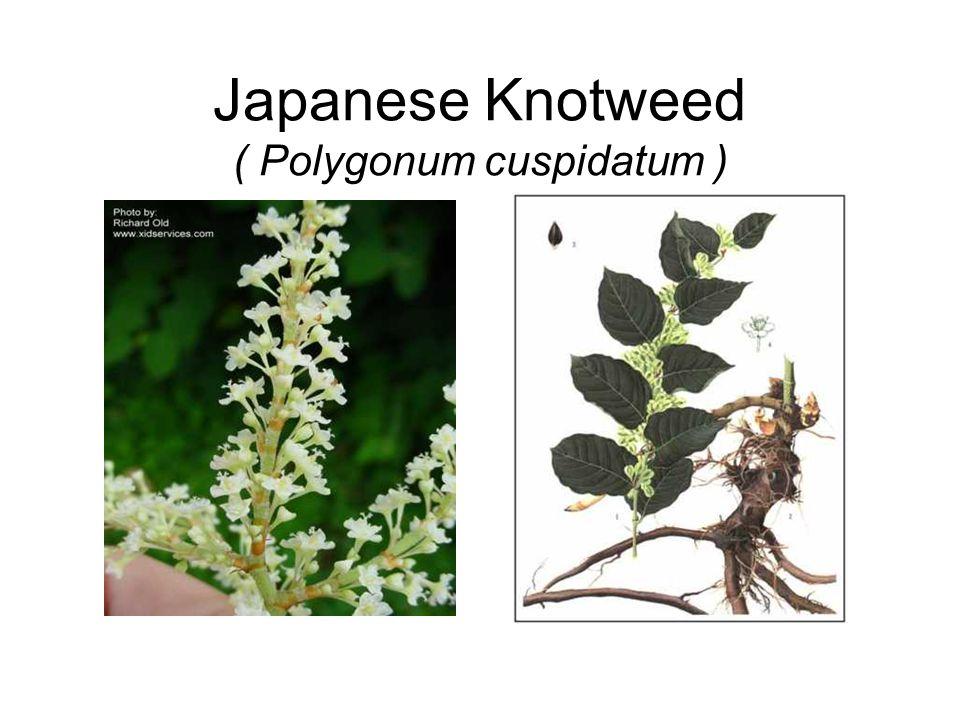 Japanese Knotweed ( Polygonum cuspidatum )