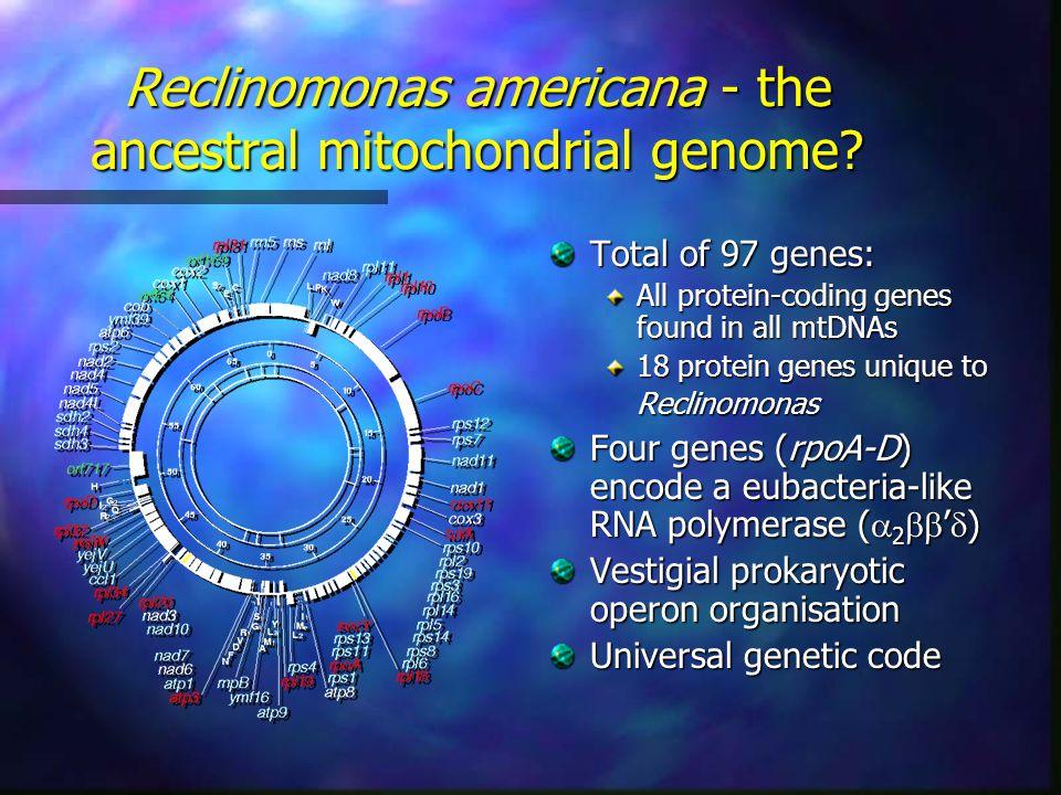 Reclinomonas americana - the ancestral mitochondrial genome.