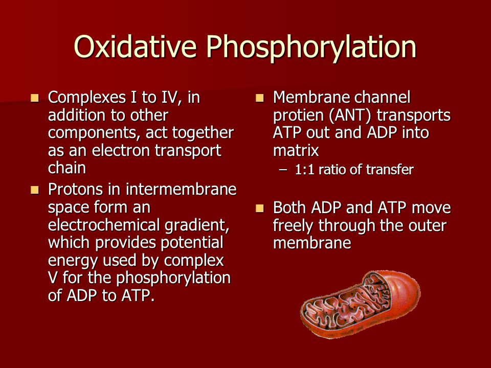 Oxidative Phosphorylation Complexes I to IV, in addition to other components, act together as an electron transport chain Complexes I to IV, in addition to other components, act together as an electron transport chain Protons in intermembrane space form an electrochemical gradient, which provides potential energy used by complex V for the phosphorylation of ADP to ATP.