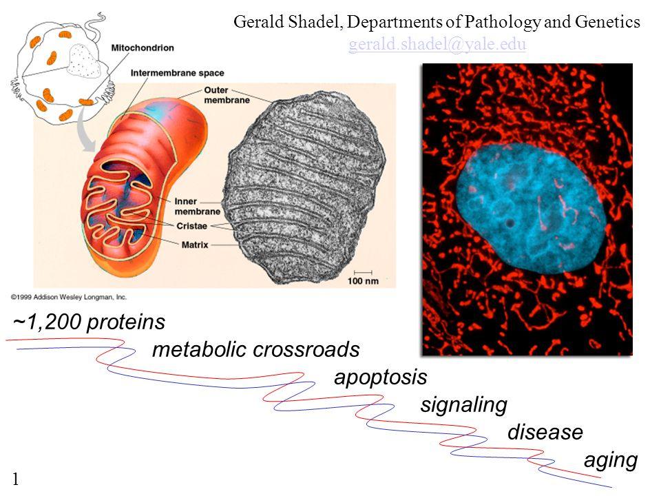 ~1,200 proteins metabolic crossroads apoptosis signaling disease aging Gerald Shadel, Departments of Pathology and Genetics gerald.shadel@yale.edu 1
