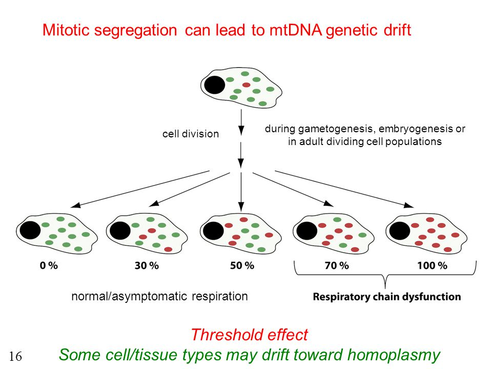 during gametogenesis, embryogenesis or in adult dividing cell populations Mitotic segregation can lead to mtDNA genetic drift Threshold effect Some ce