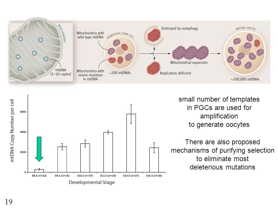 small number of templates in PGCs are used for amplification to generate oocytes There are also proposed mechanisms of purifying selection to eliminat