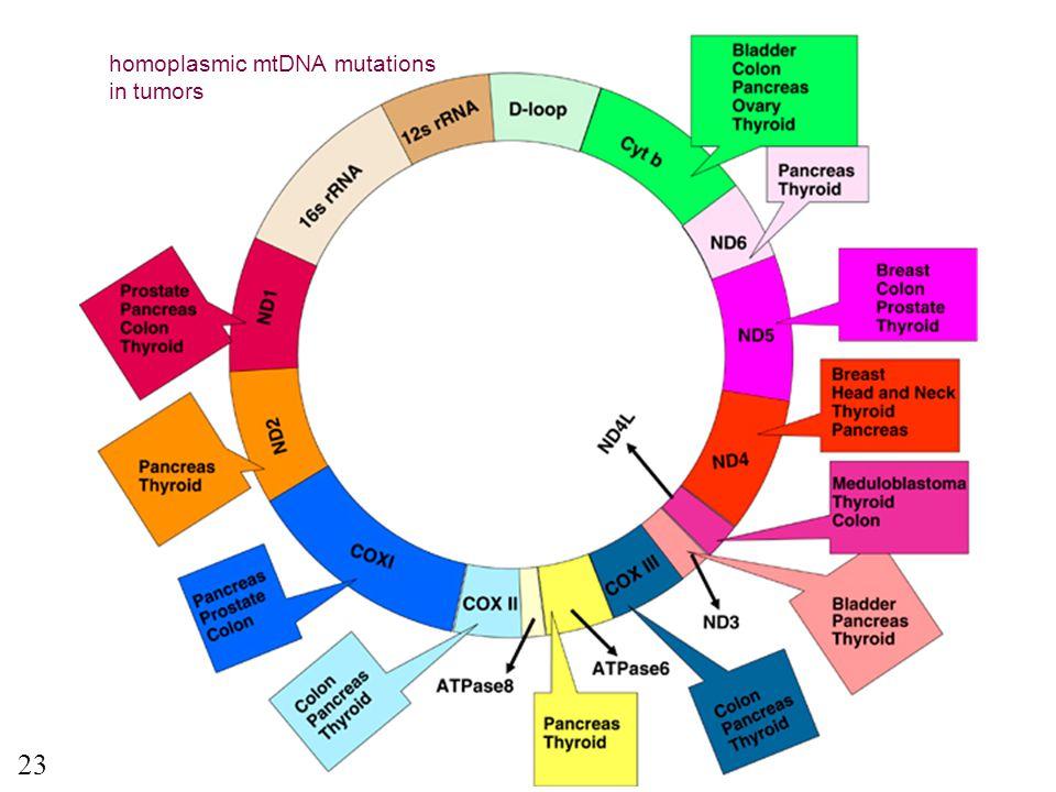 homoplasmic mtDNA mutations in tumors 23