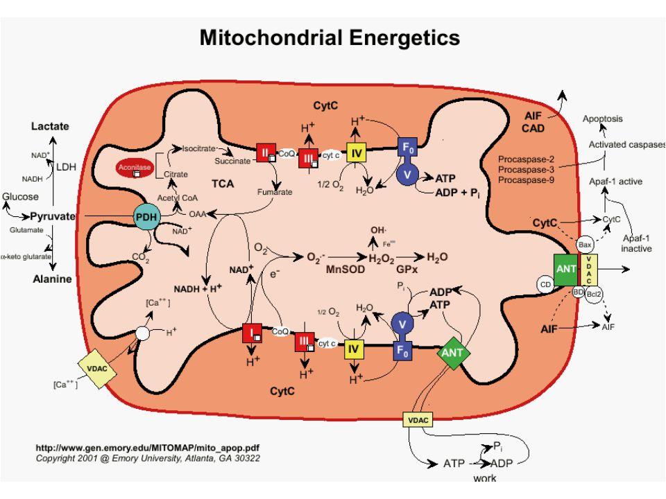 Mitochondria are essential for oxidative phosphorylation (make ATP)