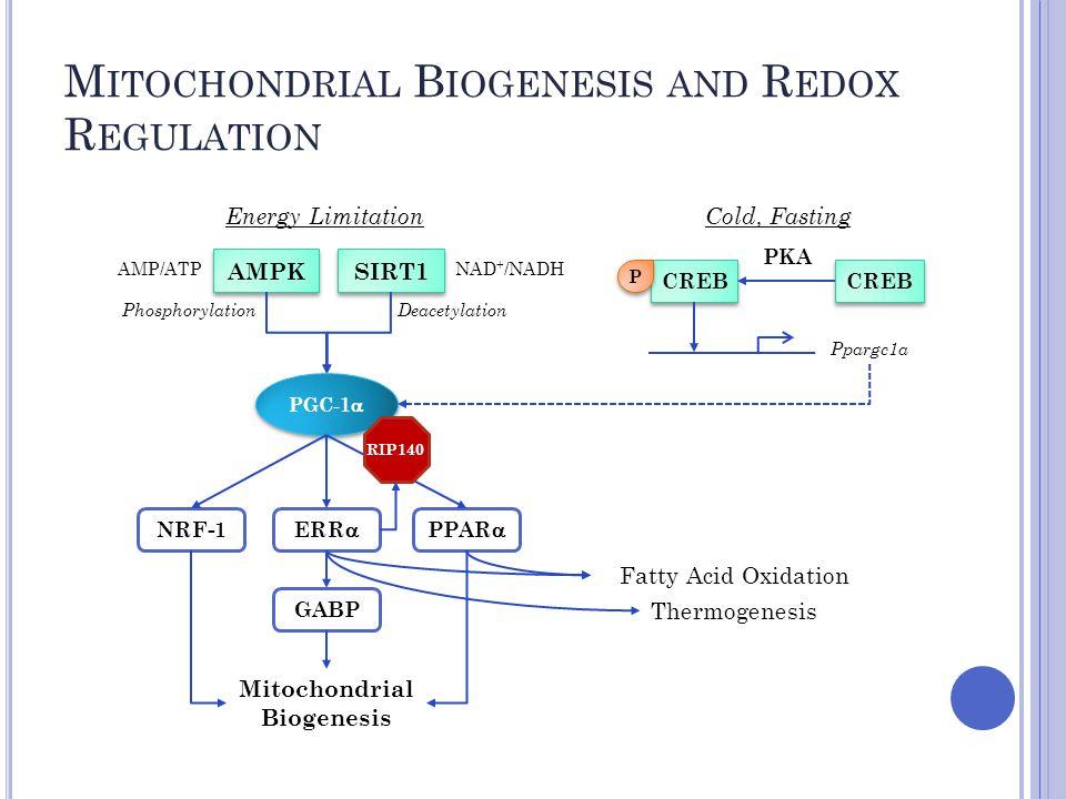 M ITOCHONDRIAL B IOGENESIS AND R EDOX R EGULATION PGC-1  NRF-1 ERR  GABP PPAR  SIRT1 AMPK CREB P P PKA Energy Limitation AMP/ATPNAD + /NADH Cold, Fasting PhosphorylationDeacetylation Fatty Acid Oxidation Mitochondrial Biogenesis Ppargc1a RIP140 Thermogenesis