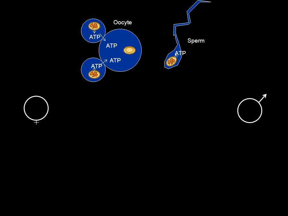 ATP Male germ line Male somatic lineFemale somatic line Female germ line Oocyte Sperm Zygote + +