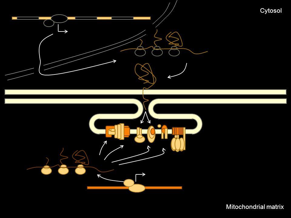 Mitochondrial matrix Cytosol