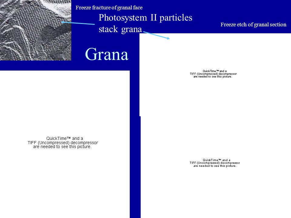 Grana Freeze fracture of granal face Freeze etch of granal section Photosystem II particles stack grana