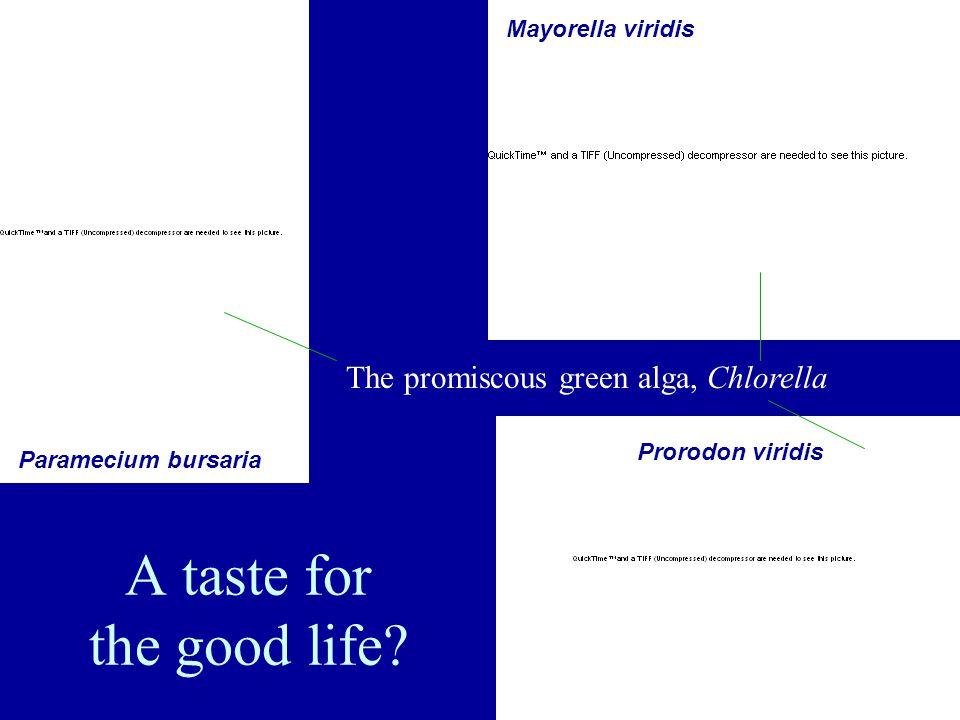Cyanophora paradoxa Trying commitment...
