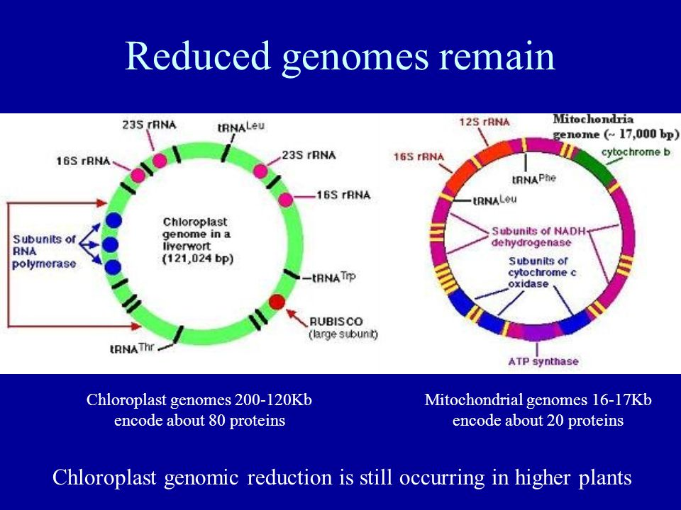 Reduced genomes remain Chloroplast genomes 200-120Kb encode about 80 proteins Mitochondrial genomes 16-17Kb encode about 20 proteins Chloroplast genomic reduction is still occurring in higher plants