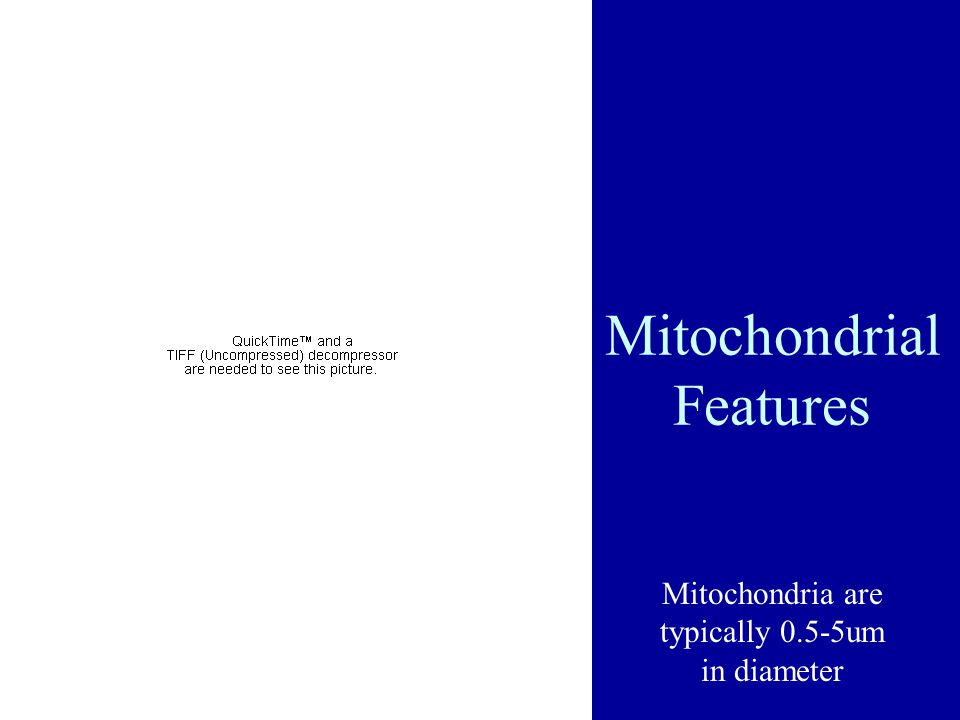Mitochondrial Features Mitochondria are typically 0.5-5um in diameter