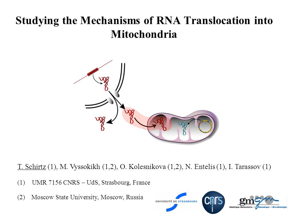 Studying the Mechanisms of RNA Translocation into Mitochondria T.