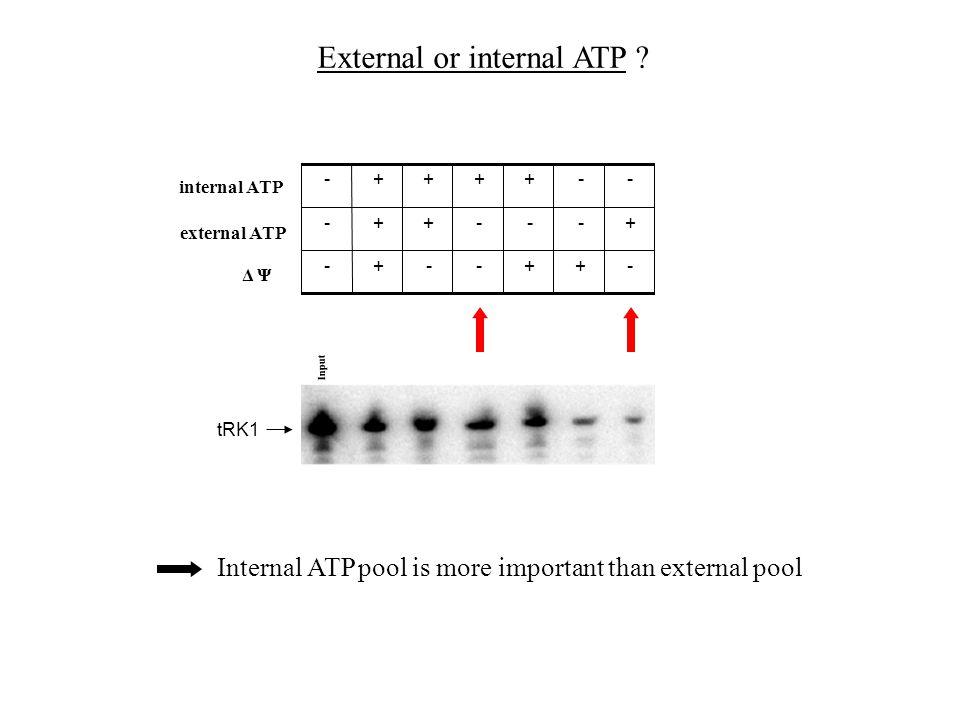 External or internal ATP .