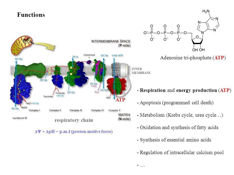Functions - Respiration and energy production (ATP) - Apoptosis (programmed cell death) - Metabolism (Krebs cycle, urea cycle…) - Oxidation and synthesis of fatty acids - Synthesis of essential amino acids - Regulation of intracellular calcium pool - … respiratory chain ATP INNER MEMBRANE Adenosine tri-phosphate (ATP) ΔΨ + ΔpH = p.m.f (proton-motive force)