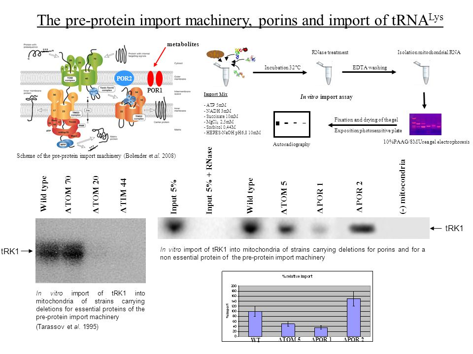 The pre-protein import machinery, porins and import of tRNA Lys Wild type Δ TOM 70Δ TOM 20 Δ TIM 44 tRK1 In vitro import of tRK1 into mitochondria of strains carrying deletions for essential proteins of the pre-protein import machinery (Tarassov et al.