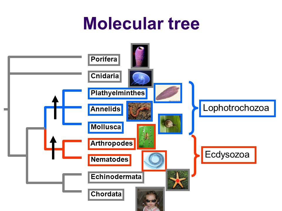 Porifera Cnidaria Plathyelminthes Nematodes Mollusca Arthropodes Annelids Echinodermata Chordata Molecular tree Lophotrochozoa Ecdysozoa