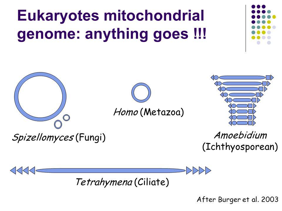 Eukaryotes mitochondrial genome: anything goes !!.