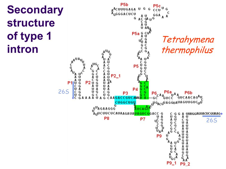 Secondary structure of type 1 intron 26S Tetrahymena thermophilus